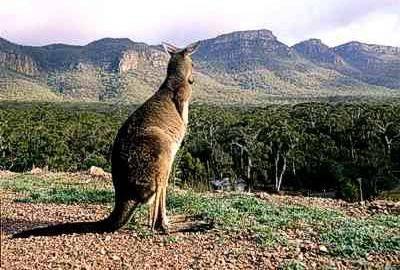 a kangaroo2