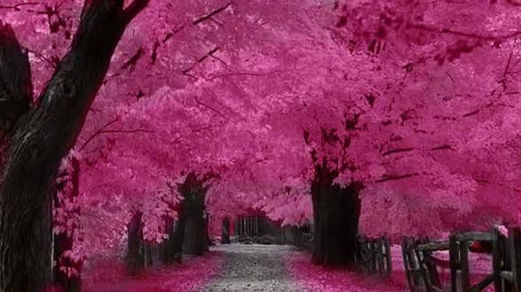 cherry blossom tour packges
