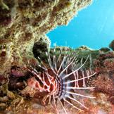 Hawaiian Lion Fish