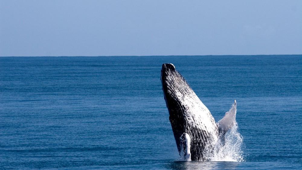 majestic humpback whales in dominican republic in Samana